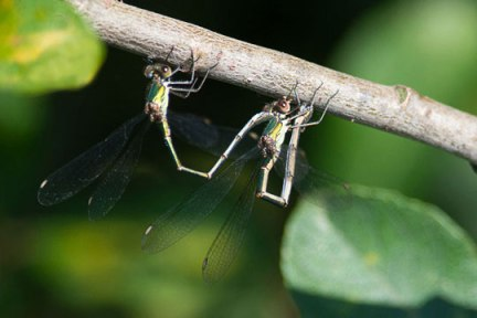 Willow-Emerald-egg-laying