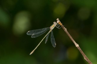 Willow-Emerald-perched-side-view