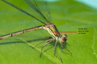 Willow-Emerald-thorax