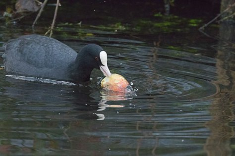 Coot-eating-apple