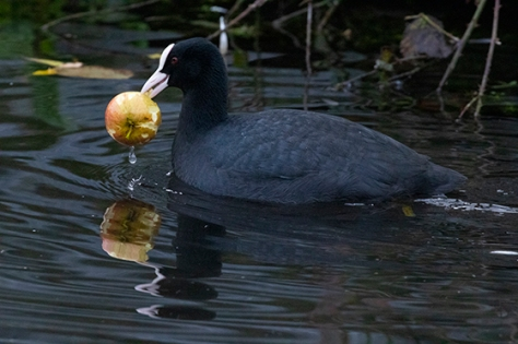 Coot with apple