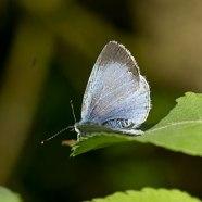 Holly-Blue-female-uppw