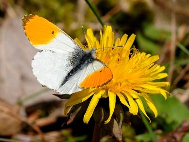 Orange tip butterfly male