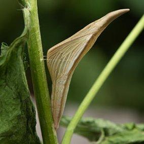 Orange-tip-female
